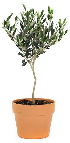 "17"" Olive Tree in Pot, Live | Weekend in Napa | One Kings Lane"