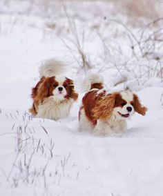 Cavaliers fun in the snow! I do have one of these....just she's never seen snow since we got her after moving to florida!