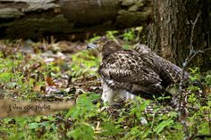 Red-tailed hawk ~ Buteo jamaicensis ~ Huron River Watershed, Michigan | by j van cise photos