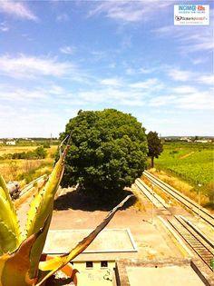http://www.salentoweb.tv/video/7781/celtis-australis-gigante-verde-carmiano