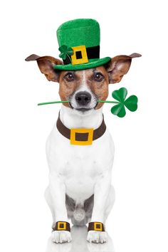 St Patrick's Day Dog Mascot -- Even the leprechaun let him have some gold!
