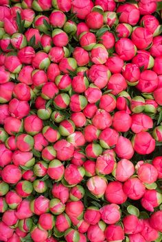 Peonies garden growing tips will help you get beautiful peony flowers. Peonies are spectacular and really quite easy to grow