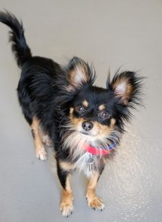 Farley- Male long hair chihuahua mix, 4 years old.  Available for adoption at Atlanta Pet Rescue and Adoption.  A lively little guy who loves to be in your lap!  Also enjoys toy play and playing with other dogs.