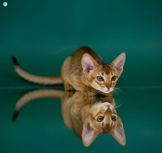 Abyssinian Cat Clymene Wonderlife * LT by Gintarė P. Pretty Cats, Beautiful Cats, Animals Beautiful, Cute Animals, Pretty Kitty, Crazy Cat Lady, Crazy Cats, I Love Cats, Cool Cats