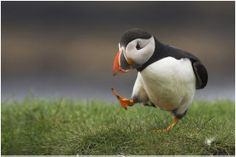Im in love! Adorable baby puffin. beautiful.