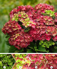 Buy mophead hydrangea Hydrangea macrophylla Ruby Tuesday (Magical Four Seasons) (PBR): Delivery by Crocus Hortensia Hydrangea, Hydrangea Colors, Hydrangea Macrophylla, Outdoor Plants, Garden Plants, Buy Plants Online, Ruby Tuesdays, Flowers