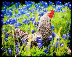 Roosters and Bluebonnets
