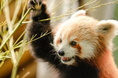 excitement by Chris Osinchuk on 500px. Red Panda