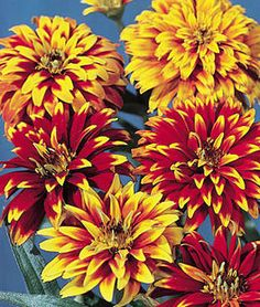Zinnia, Old Mexico HEIRLOOM. More compact than Mexican Zinnia 'Chippendale'. Mexican Zinnia (Z. haageana)-A compact, disease resistant class of zinnias with amazing multi-colored double and semi-double flowers. Cactus Flower, Flower Seeds, Flower Pots, Flower Farm, Gerbera, Burpee Seeds, Flower Pot Design, Pergola Pictures, Annual Flowers