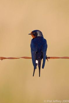 Barn Swallow Photograph by Phil Jeffrey - Barn Swallow Fine Art Prints and Posters for Sale