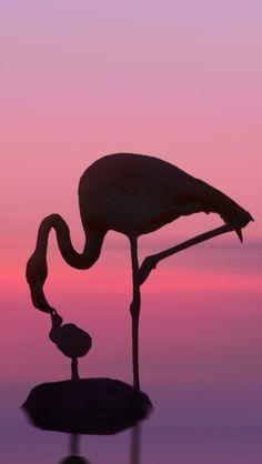 Parent Flamingo feeding the child.