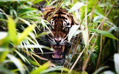 Tiger Roaring http://ift.tt/KZaEnT