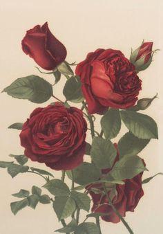 Prang & Co. - Rose prints - undated (but probably public domain) - via NYPL Vintage Flower Prints, Vintage Botanical Prints, Botanical Art, Vintage Flowers, Vintage Art, Floral Prints, Rose Prints, Rose Illustration, Botanical Illustration