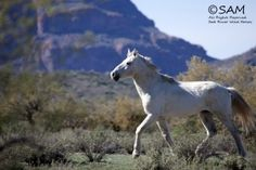 Horses at Salt River - East Valley Tribune