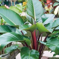 Philodendron Rojo Congo Rojo Congo is a large, fast growing evergreen plant.The foliage will begin copper brown with a red tinge and as it matures turns dark green. Suitable for borders and mass planting under large trees.