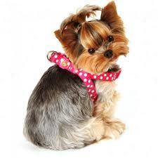 I want my Bella's hair to go in a ponytail like that at the top, and short all over.     ♥ Yorkie