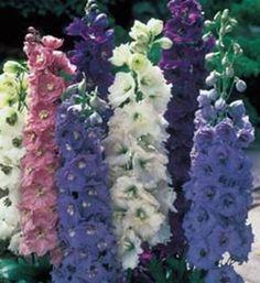 Delphinium (Purple white, mauve]