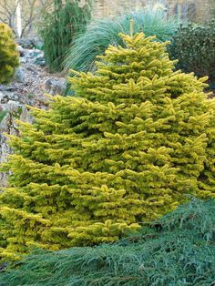 The vivid golden foliage of Abies nordmanniana 'Golden Spreader' makes a striking statement plant; the foliage is even brighter in winter. - Choosing Conifers on HGTV Ornamental Trees, Landscaping Plants, Plants, Evergreen Landscape, Planting Flowers, Conifers Garden, Conifers, Trees To Plant, Evergreen Garden