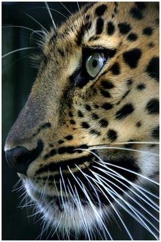 Amur Leopard ~ The rarest cat on earth.
