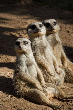 """Meerkats...just hang'in out……..SAID MIDDLE MEERKAT: """"TRY TO LOOK SOVERN-LIKE…"""