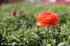 Picture of Persian buttercup, More flower pictures on this website! Persian Buttercup, Ranunculus Flowers, Types Of Flowers, Flower Pictures, Dream Garden, Colorful Flowers, Flora, Rose, Plants
