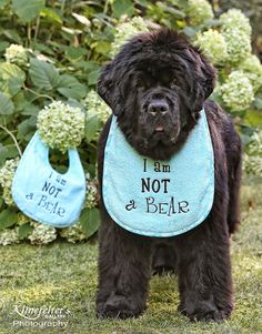 You have to look twice don t you? dogs and puppies Animals And Pets, Funny Animals, Cute Animals, Landseer Dog, Animal Pictures, Cute Pictures, Terra Nova, Newfoundland Puppies, Huge Dogs
