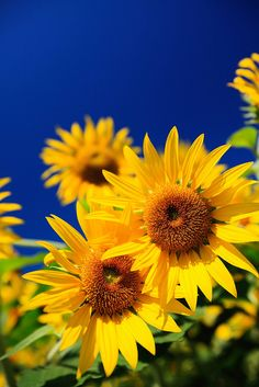 Bright colors - Sunflower