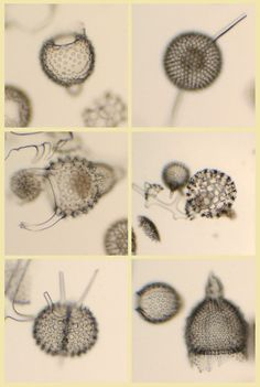 """Radio Larios diversos. Fotografía: Luis Fernández García. 2007-03-26     Radiolarians or radiolarian (Radiolaria, lat . radiolus """"small jet"""" [1] ) are a group of unicellular organisms with an endoskeleton made of opal ( silica , SiO 2) to the eukaryotic one.Most famous were the drawings of Radiolarienskeletten that Ernst Haeckel made and as a monograph published 1862nd"""