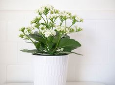 Learn how to grow both flowering and non-flowering Kalanchoe plants, plus tips on watering, propagation, and light.