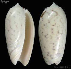 Oliva (Miniaceoliva) tremulina azemula (var.)