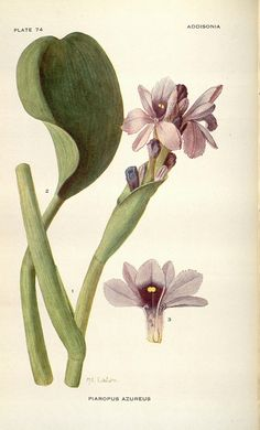 Addisonia : colored illustrations and popular descriptions of plants v.2 (1917) New York :New York Botanical Garden,1916-[1964]