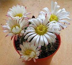 Solution Seeds Farm Rare Hierloom Acanthocalycium Klimpelianum, Prickly Cactus with Pinkish Spines, White Flowers, 20 Seeds.