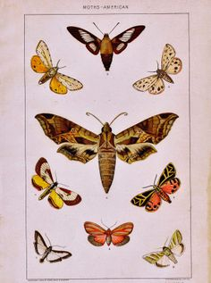 Antique Nature Printable - American Moths via knickoftimeinteriors.blogspot.com