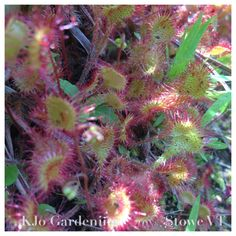 Drosera, or sundew, is a carnivorous plant. It catches bugs with its sticky hairs, and digests them. It's a very little plant that grows close to the ground.