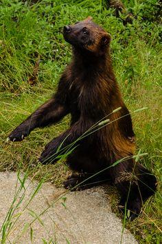 Wolverine (Gulo gulo). Finland. Photo by J. Partanen (at https://www.flickr.com/photos/92050050@N04/8367500850/).
