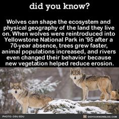 Wolves can shape the ecosystem and physical geography of the land they live on. When wolves were reintroduced into Yellowstone National Park in after a absence, trees grew faster, animal populations increased, and rivers even changed. - SAVE THE WOLVES Did You Know Facts, Things To Know, The More You Know, Good To Know, Yellowstone National Park, National Parks, Of Wolf And Man, Physical Geography, Wolf Quotes