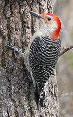 List of birds of Alberta - Wikipedia