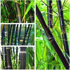 100 PCS Noir Bambou Graines Phyllostachys Nigra Bonsaï Graines Maison Jardin pot de fleur planteurs livraison gratuite