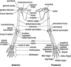 Pectoral Girdle Each of the two pectoral (shoulder) girdles consists of two…