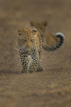 restinforest:  Leopard Cubs