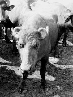 Búfala Muha