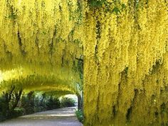 laburnum watereri imges | Laburnum x watereri - Vossii Golden ...