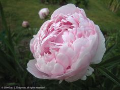 Who can resist a peony?  They are perfectly gorgeous in look and scent and always bring a smile to my face.
