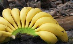 El Plátano de Canarias ya tiene la IGP, NOTICIAS. http://restaurantehoycocinalaabuela.blogspot.com.es/