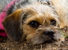 Best Dog Breeds, Best Dogs, Cute Boarders, Border Terrier, Little Brown, Brown Dog, Beagles, Adorable Animals, Terriers