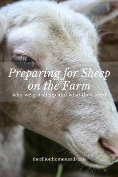 It doesn't take but a few basic tasks for properly preparing for sheep on the farm. Read how we prepared, the sheep we chose, and all about our set up! Sheep Pen, Pet Sheep, Sheep Farm, Sheep And Lamb, Sheep Shelter, Backyard Farming, Chickens Backyard, Raising Farm Animals, Raising Chickens