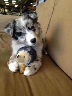 OMG too cute! I want one so bad! (Blue Merle Australian shepherd)