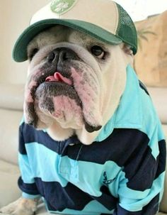 The major breeds of bulldogs are English bulldog, American bulldog, and French bulldog. The bulldog has a broad shoulder which matches with the head. Bulldog Pics, English Bulldog Puppies, British Bulldog, Cute Puppies, Cute Dogs, Dogs And Puppies, Terrier Puppies, Doggies, Boston Terrier