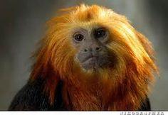 Golden-headed Lion Tamarin