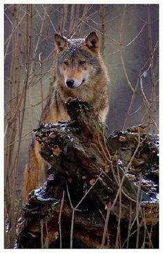 Stunning intelligent wolf, - love the snow sprinkle on his head! Wolf Love, Bad Wolf, Beautiful Creatures, Animals Beautiful, Cute Animals, Wolf Spirit, My Spirit Animal, Wolf Pictures, Animal Pictures